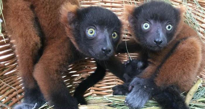 Primeros gemelos de lemur rufo rojo nacidos en Faunia
